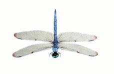 blue-skimmer